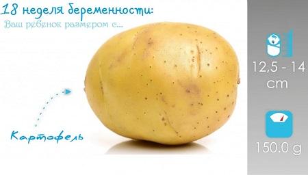 Плод на 18 неделе размеры